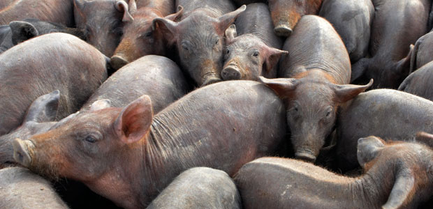Genetically Engineered Pigs and Salmon