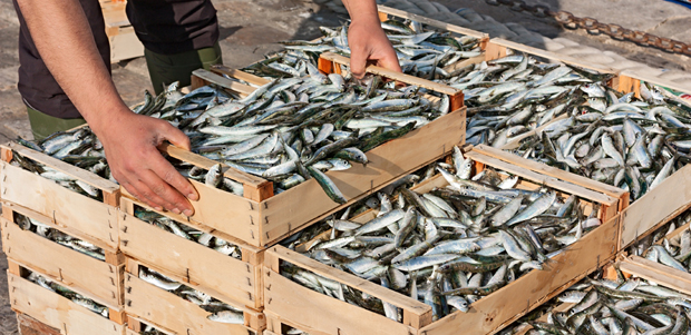 Why You Should Adopt Sardines into Your Diet