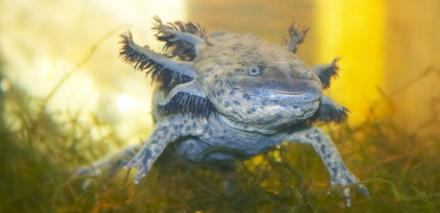 Wildlife Wednesday: Axolotl