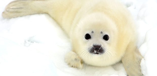 Wildlife Wednesday: Harp Seal